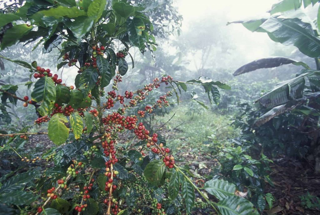 coffee-tree-in-honduras_гондурас.jpg